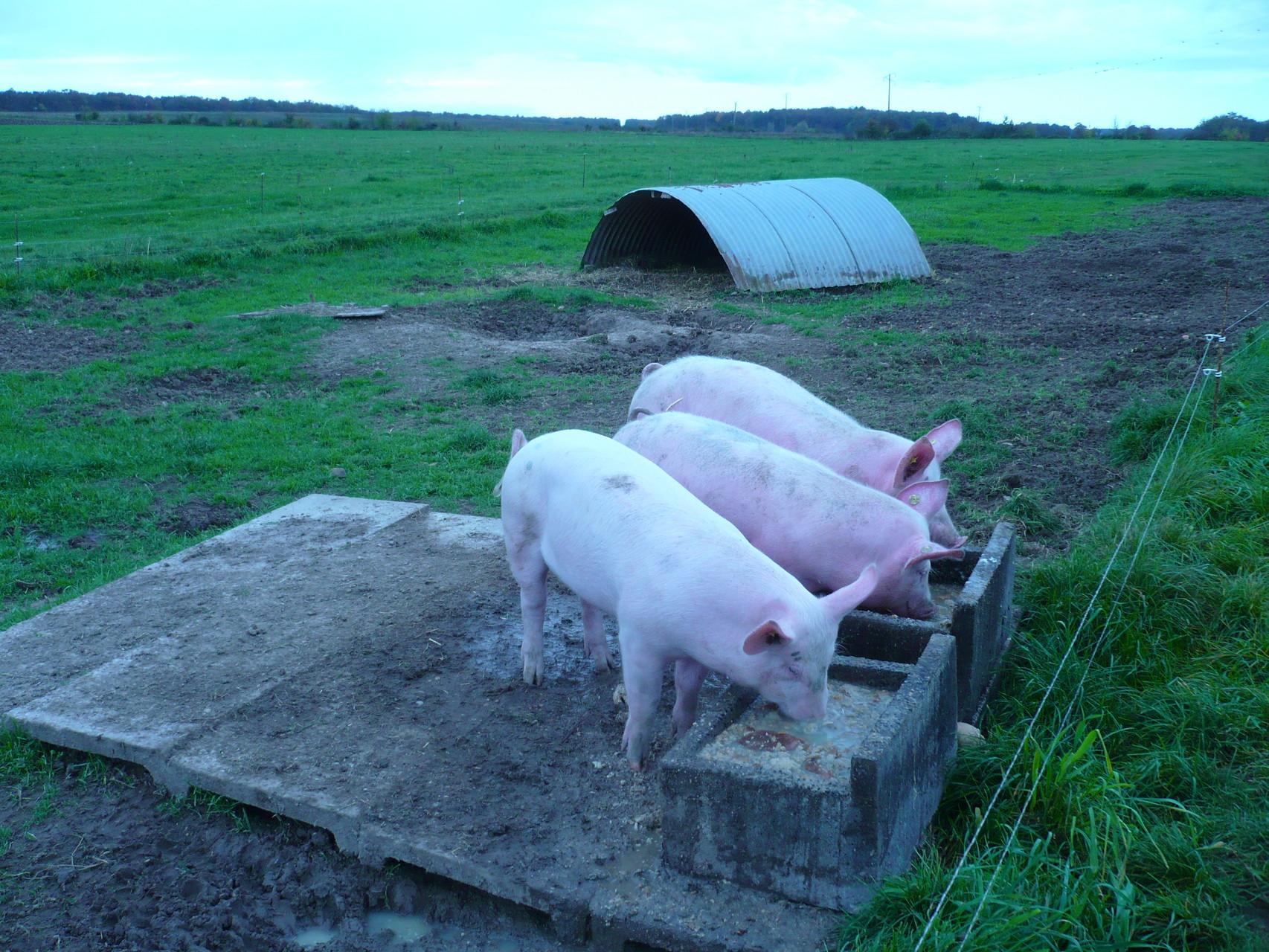 Oh! Les cochons ! © UNAT Centre