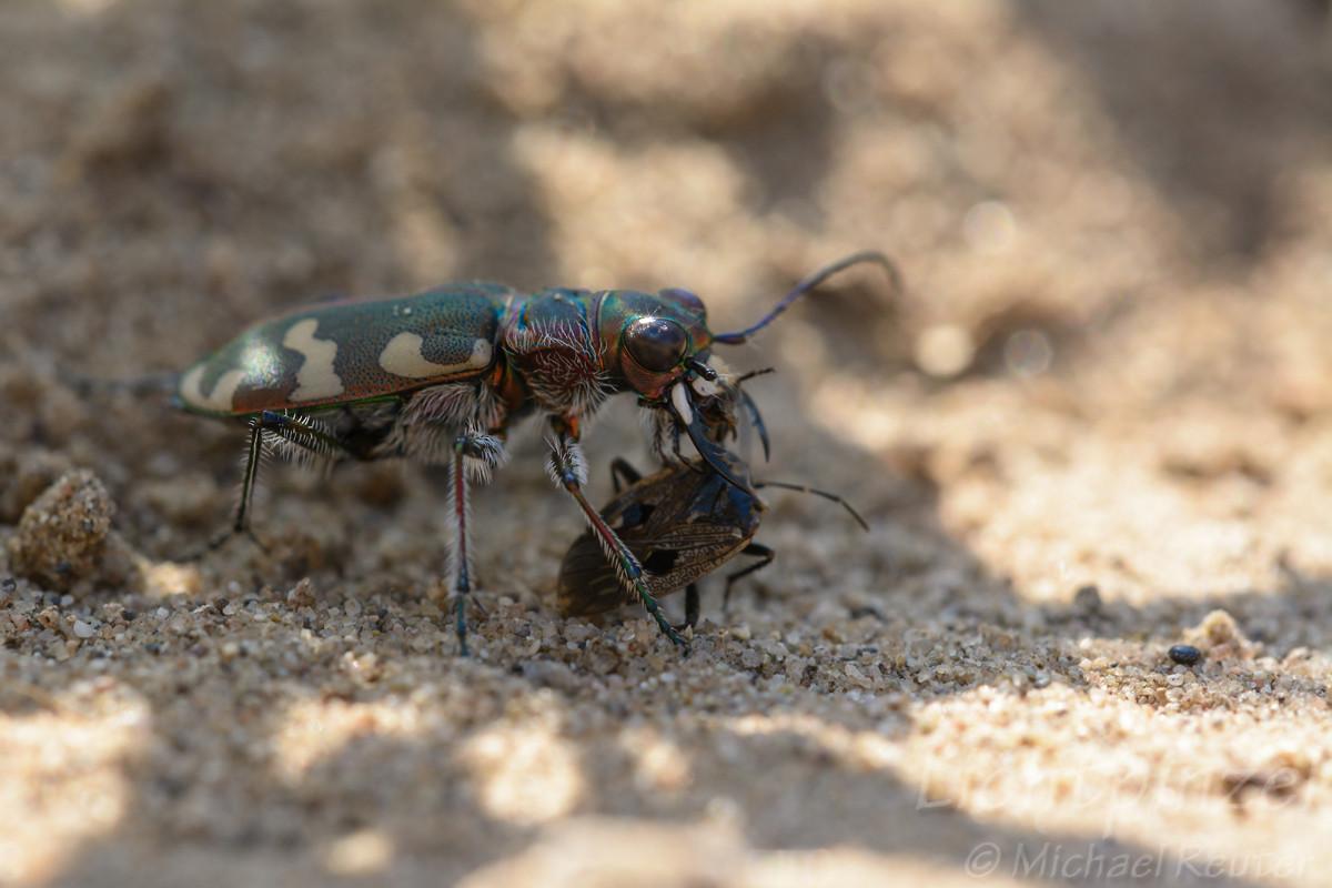 Dünen-Sandlaufkäfer (Cicindela hybrida) frißt Bodenwanze (3)