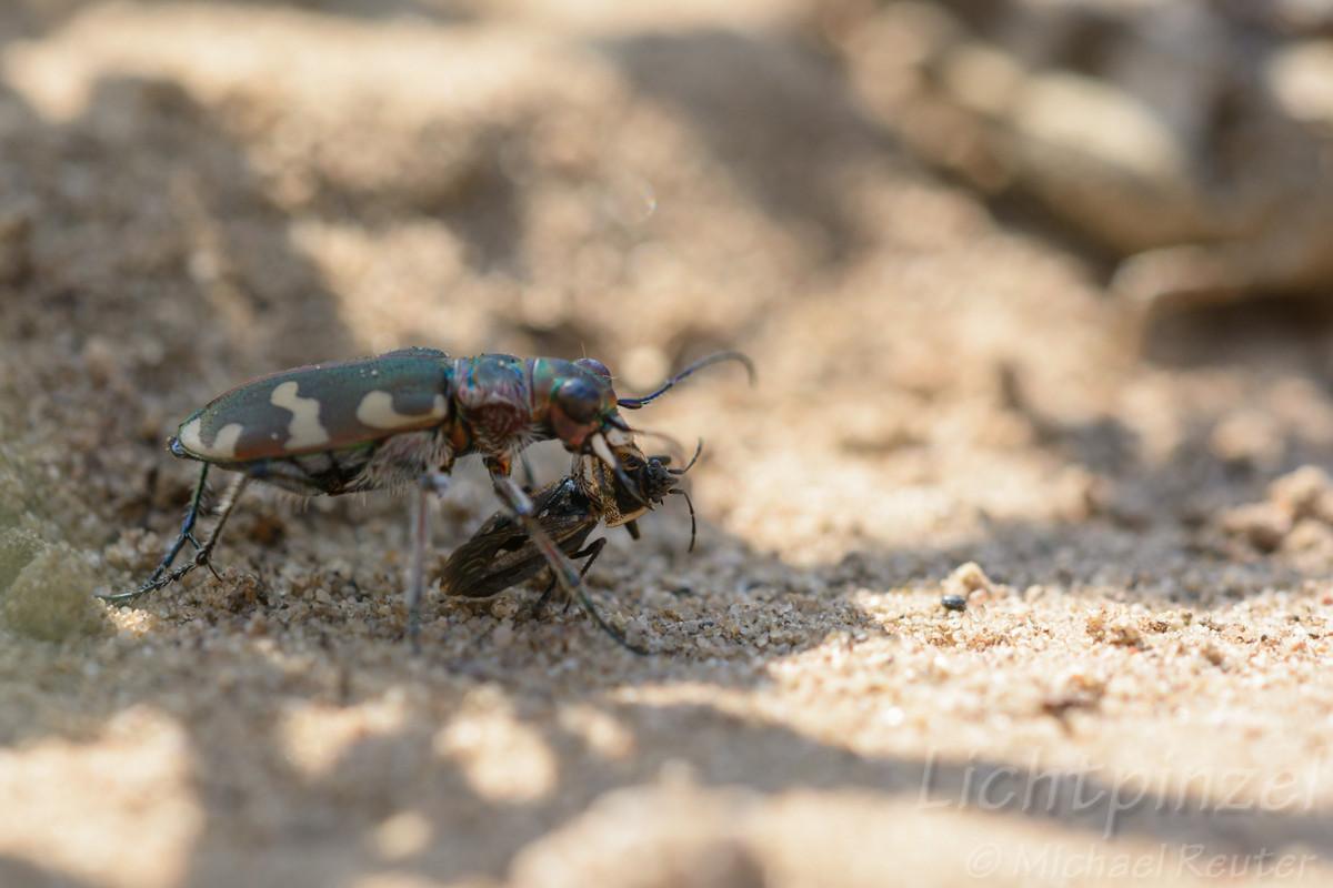 Dünen-Sandlaufkäfer (Cicindela hybrida) frißt Bodenwanze (2)