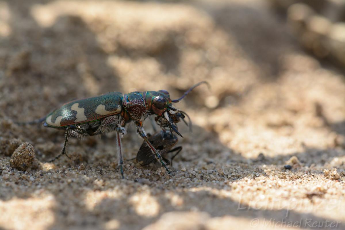 Dünen-Sandlaufkäfer (Cicindela hybrida) frißt Bodenwanze (5)