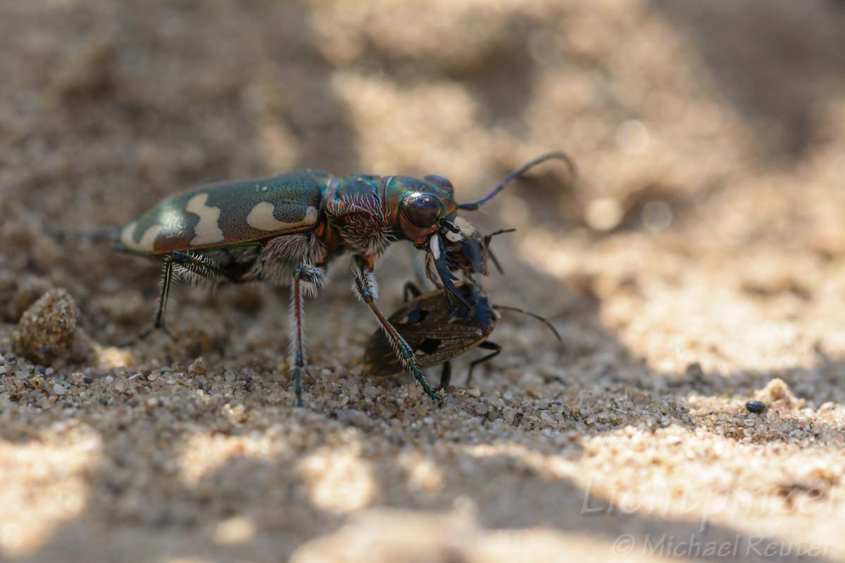 Dünen-Sandlaufkäfer (Cicindela hybrida) frißt Bodenwanze (4)