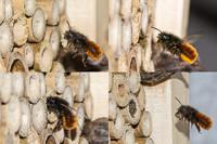 Gehörnte Mauerbiene , Osmia Cornuta