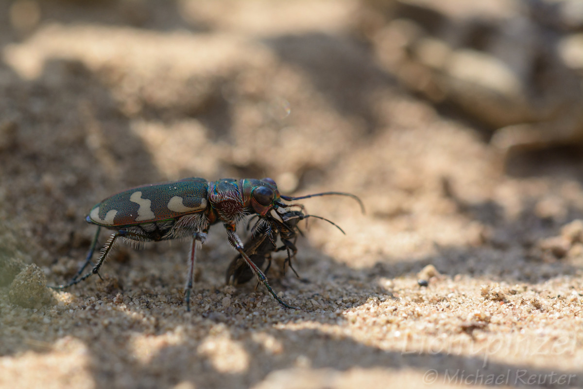 Dünen-Sandlaufkäfer (Cicindela hybrida) frißt Bodenwanze (1)