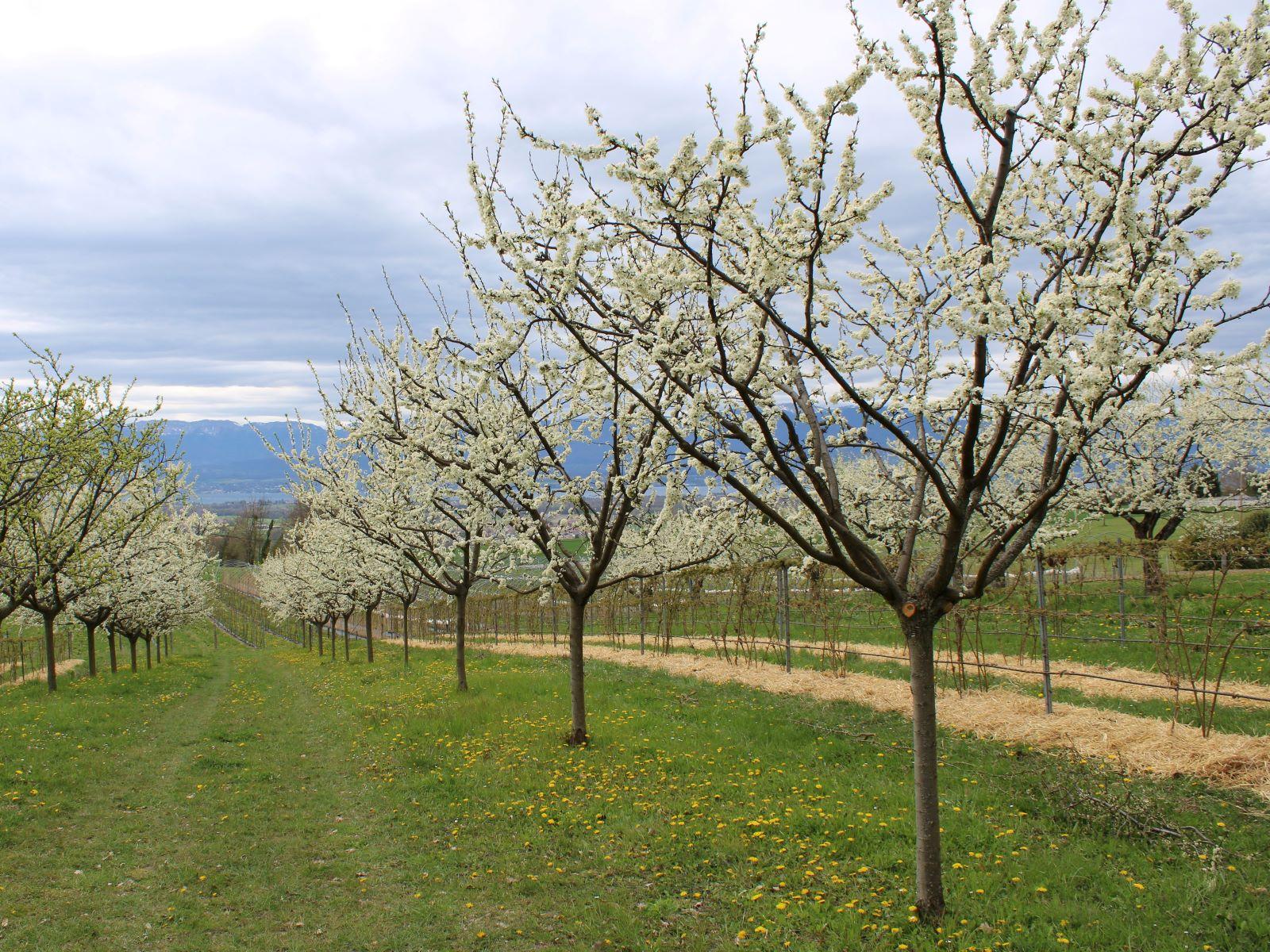 Avril - Les fleurs de Mirabelliers sont très nombreuses !