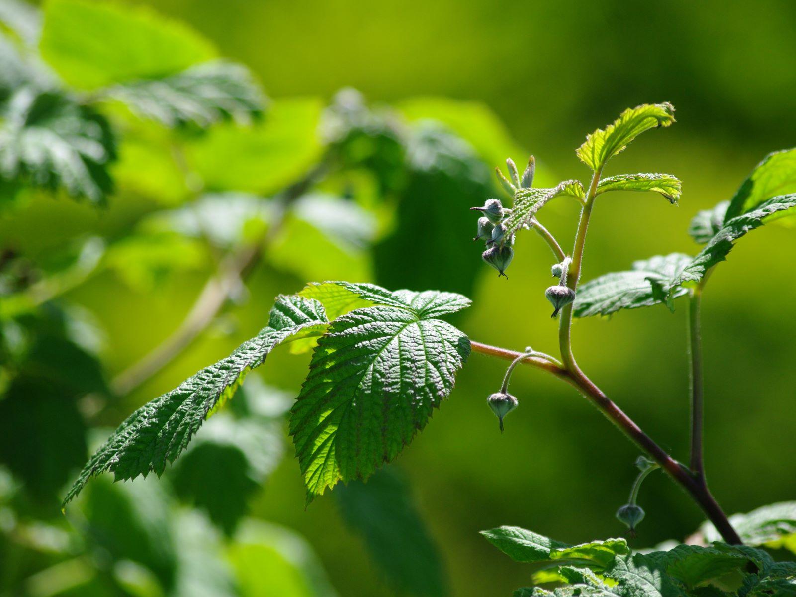 Mai - Les fleurs des Framboisiers naîtront bientôt de leurs bourgeons