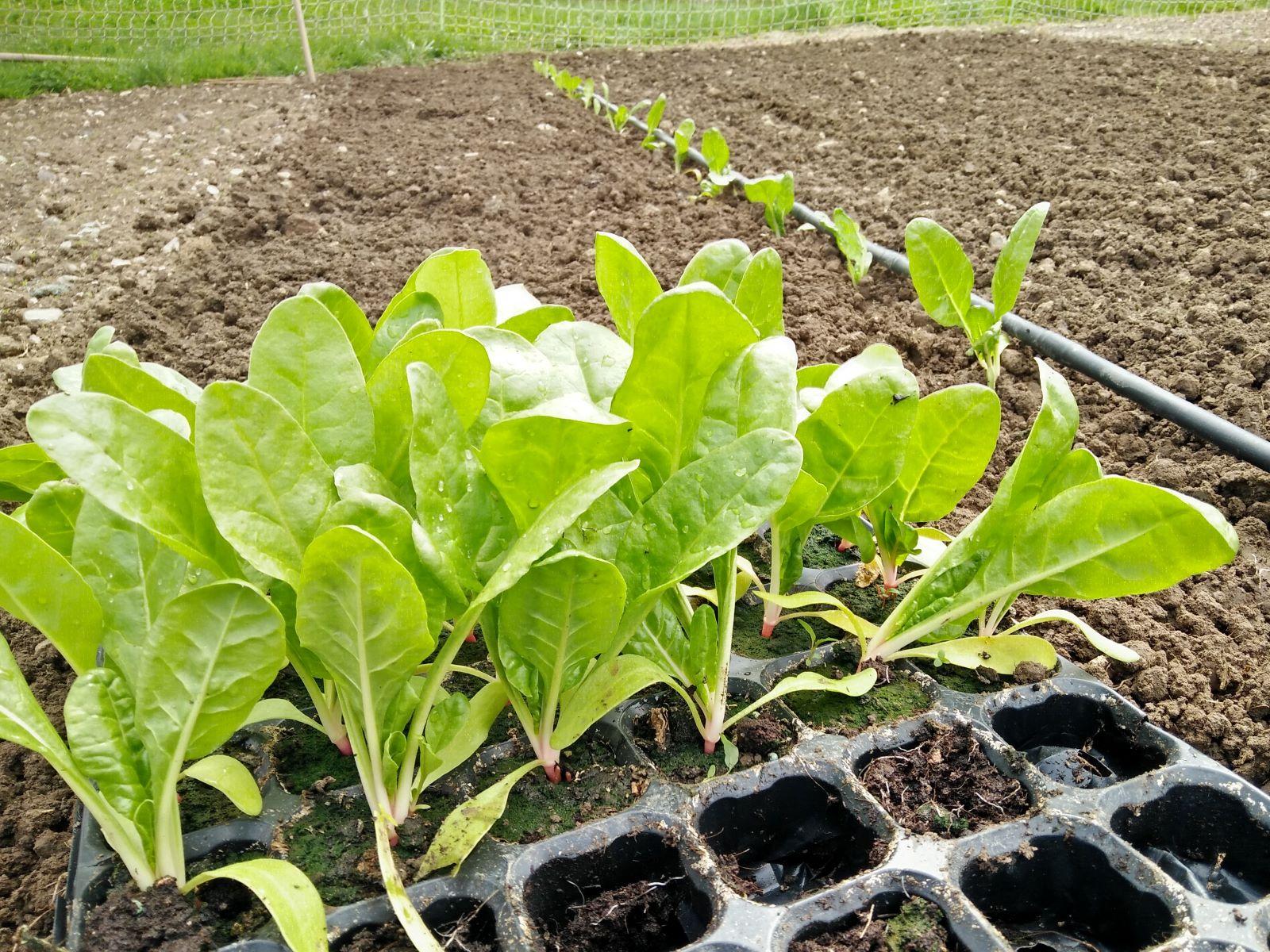 Mai - Les plants de Blettes ont bien poussé, nous les mettons en place