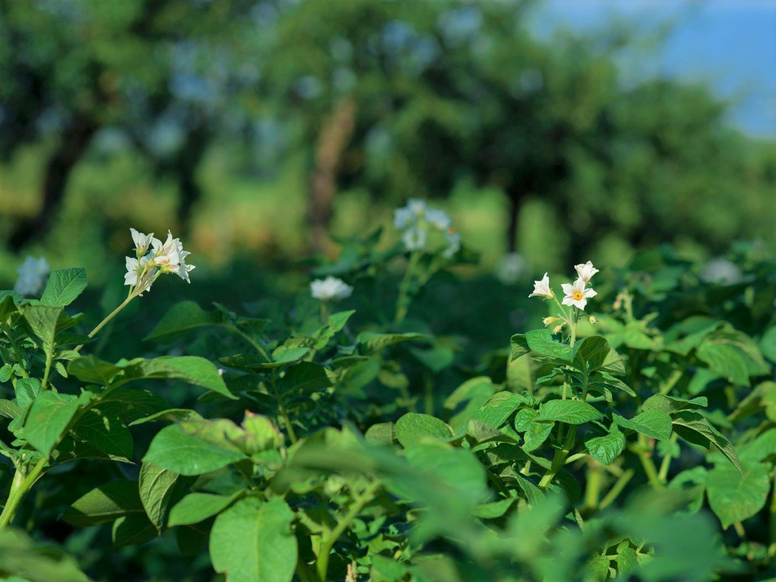 Juillet - Les Pommes de Terre sont en fleurs