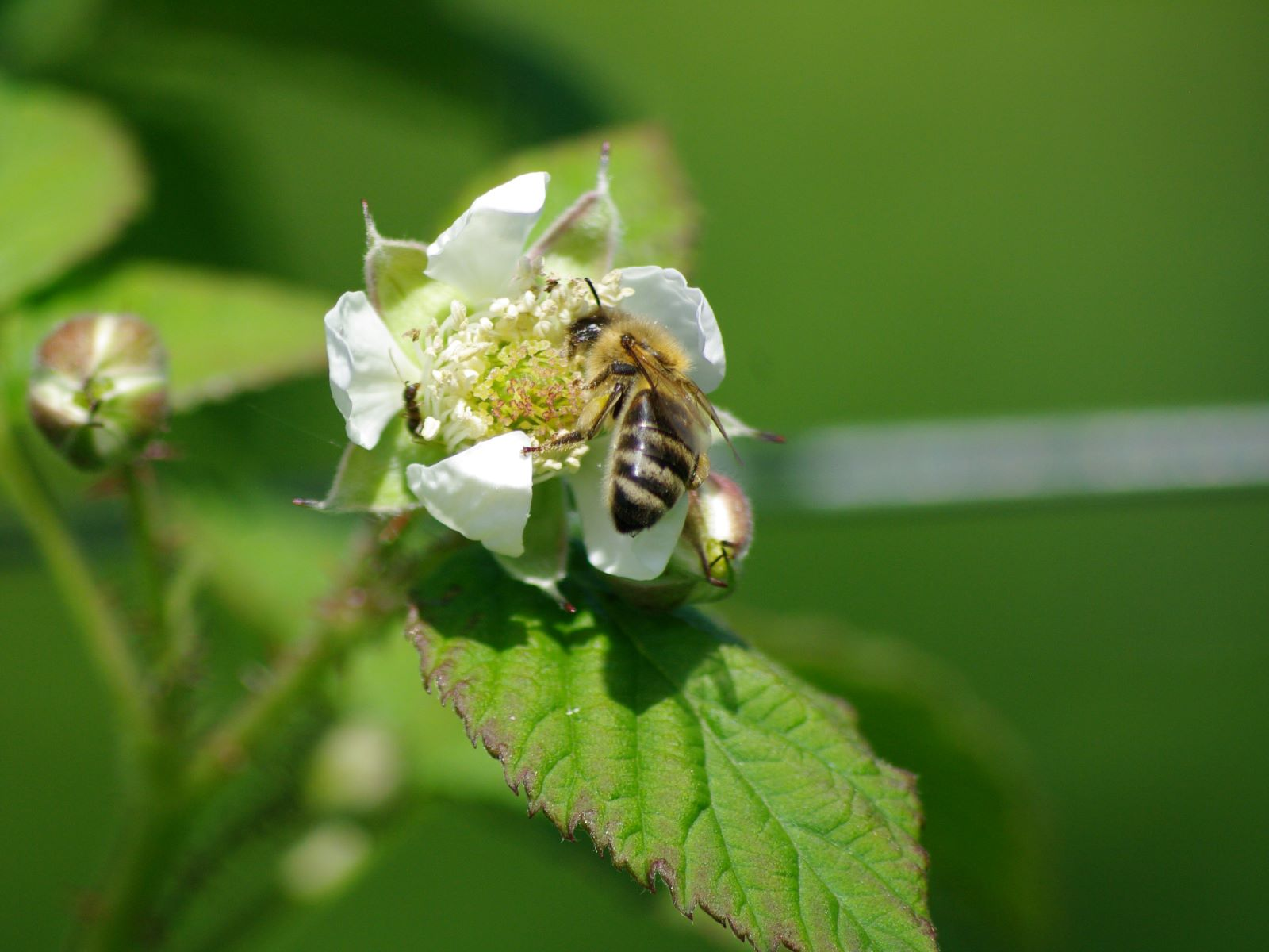 Mai - Les premières fleurs de Mûres de Logan sont là. Les abeilles ne s'y trompent pas !