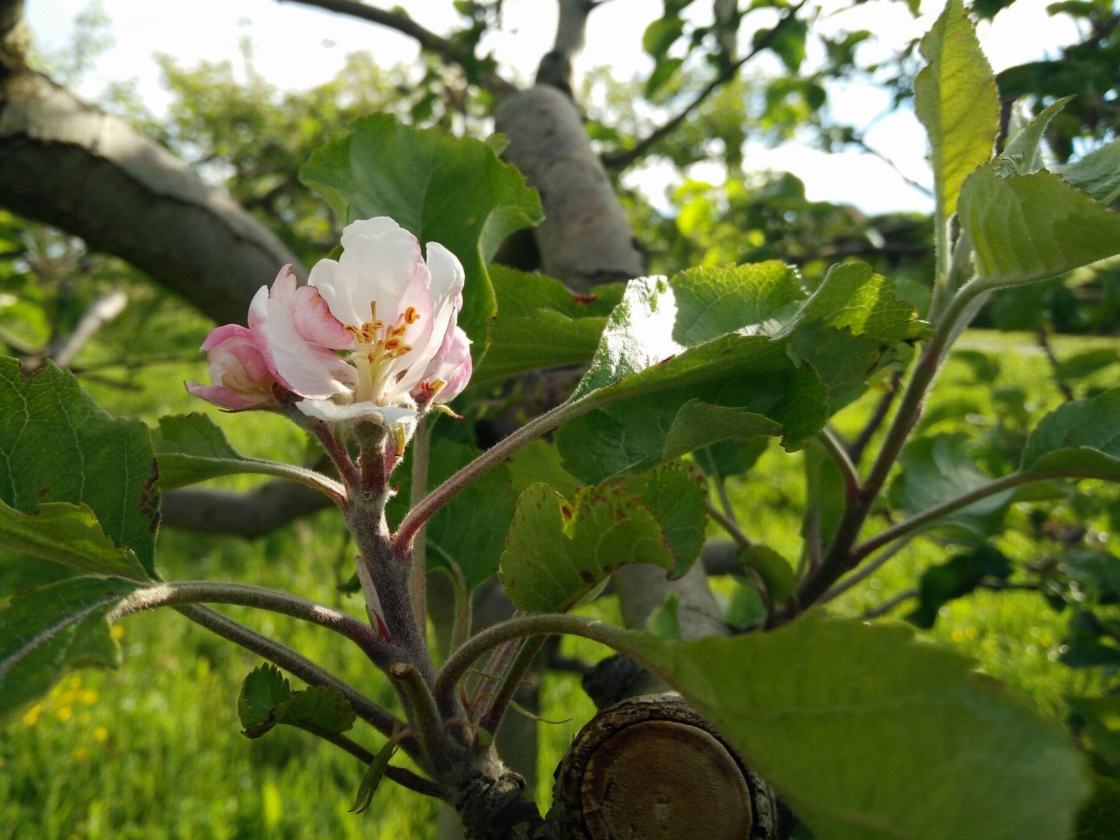 Avril - Les Pommiers sont en fleurs