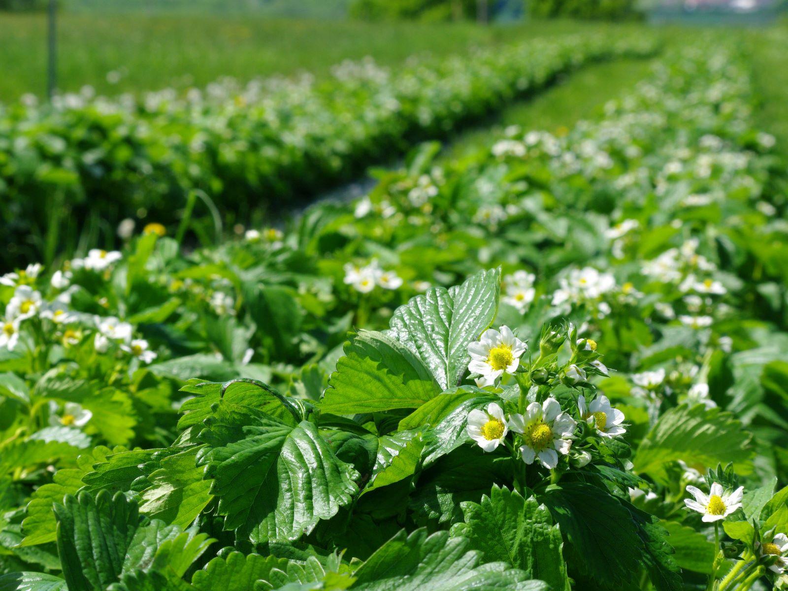 Mai - Les Fraisiers sont en fleurs. Il faudra encore un peu de chaleur avant l'arrivée des fruits