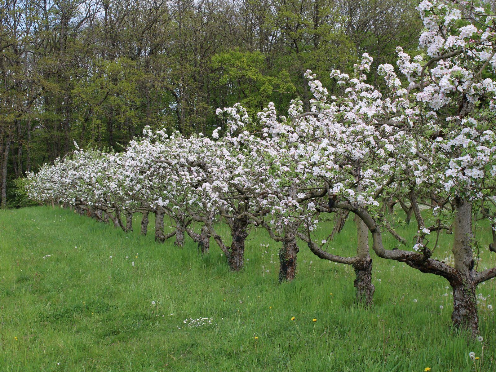 Avril - Dans le verger de Pommiers, c'est du plus bel effet