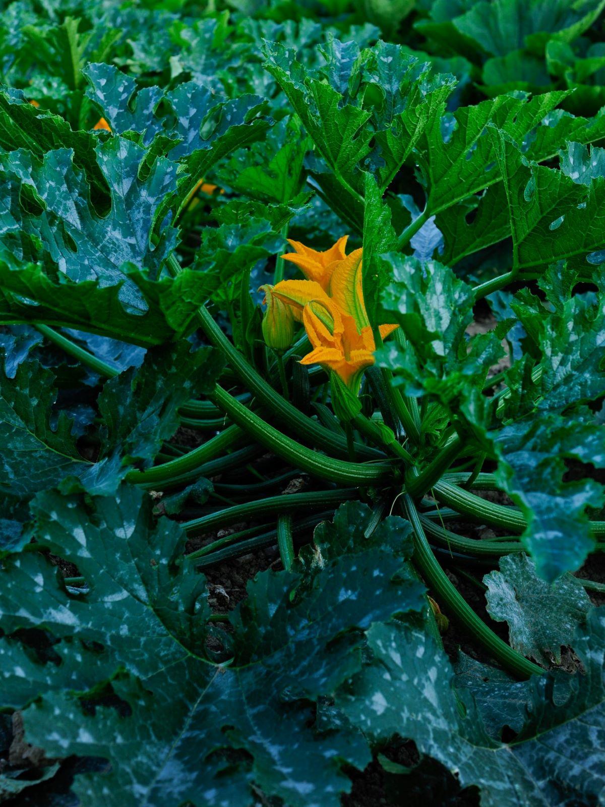 Juillet - Les fleurs de Courgette peuvent être utilisées pour faire des beignets