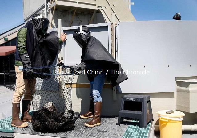 モントレーベイ水族館ラッコプログラムの動物ケアコーディネーターのカール・メイヤー(左)とアリー・ボンディは、ラッコ保護センターでラッコの赤ちゃんと接触する際、赤ちゃんが人間に刷り込みを受けないよう黒ポンチョと溶接用のマスクを着ける。