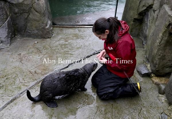 バンクーバー水族館の上席海洋哺乳類とレーバーのクリスティ・ヘフロンがレストラン級のシーフードをリアルトに与えている。リアルトはもう青年とみなされている。
