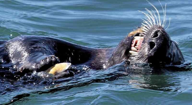 2006年11月。エルクホーン湿地帯でムラサキガイを食べるラッコ。(Vem Fisher - Monterey County Herald file)