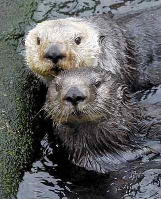 海洋哺乳類保護法は人間が野生のラッコから50ヤード(約45m)離れることを求めている (Vern Fisher - Monterey Herald)