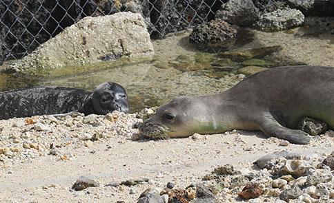 Hawaiian monk seals Awa`puhi and Mililani at French Frigate Shoals.  © NOAA permit #16632