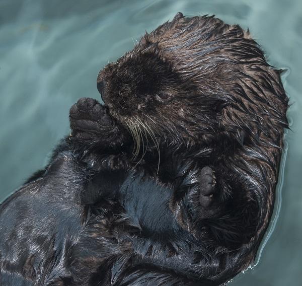ラッコ714号 保護されたこのラッコは、カリフォルニア州モントレーからオーデュボン水族館へ到着し、現在特設の25,000ガロンのラッコ水槽で新しい環境に順応しつつある。