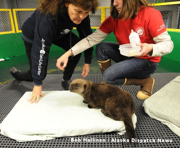 ボランティアのデブ・マグルダーと飼育マネージャーのリサ・ハートマンが細かくした貝とラッコの母乳に似せた人工ミルクをシーライフセンターでケアを受けるオスの幼獣に与えている。(Bob Hallinen / Alaska Dispatch News)