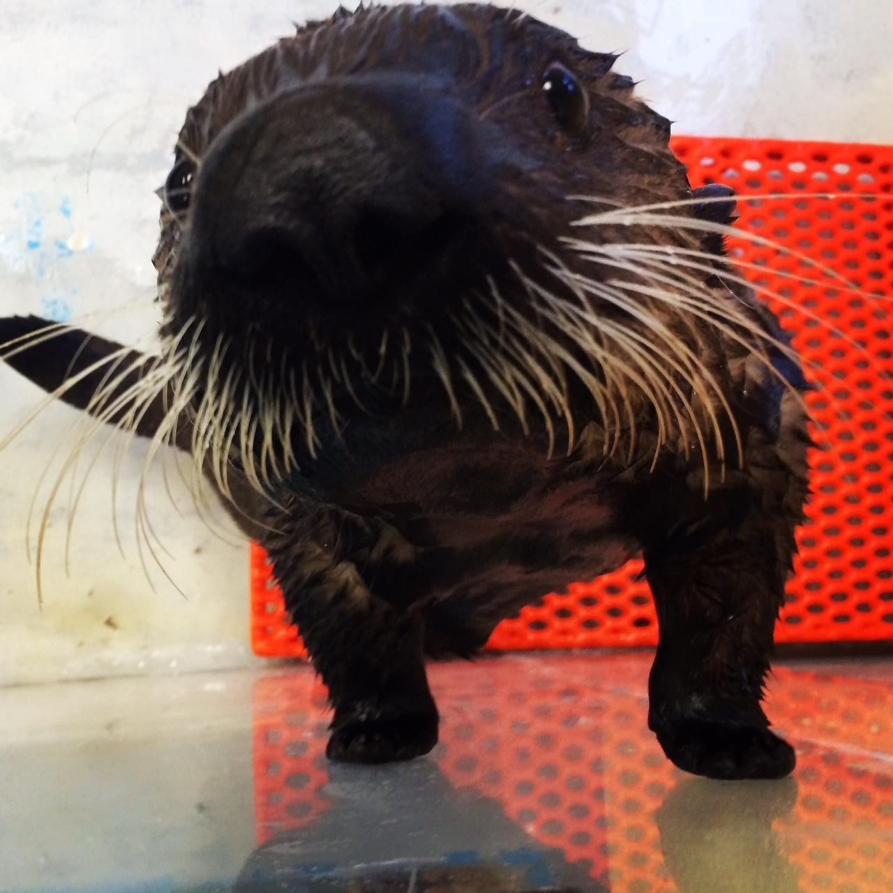 アラスカを発つ前、クレートに入ったミシュカ。シアトル水族館のラーナー獣医師が付き添った Seattle Aquarium