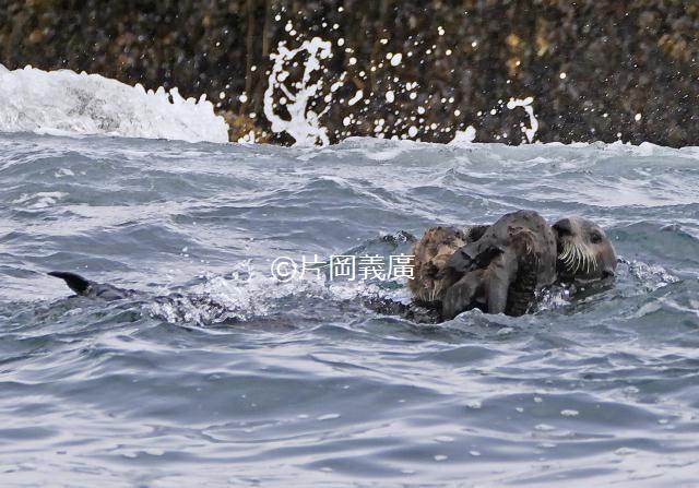 今回繁殖が分かったラッコの親子。北海道沿岸で繁殖が確認されたのはモユルリ島に続き2例目。