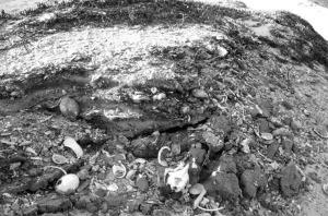 カリフォルニア州チャネル諸島の貝塚で出土した昔の骨のDNAも解析されるだろう。Photo © National Park Service