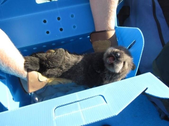 先週モロベイで保護された赤ちゃんラッコはモントレーベイ水族館へ移送された。 Morro Bay Harbor Patrol