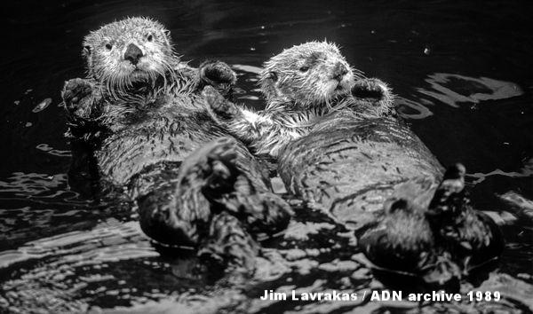 エクソン・バルディーズ号原油流出事件の犠牲となった2頭のラッコたちがカチェマック湾のリハビリ施設で回復に向かっている。1989年7月。(Jim Lavrakas / ADN archive 1989)