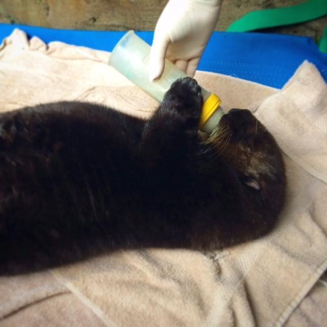 シアトル水族館の獣医師から人工ミルクをもらうミシュカ Seattle Aquarium Photo/Lesanna Lahner
