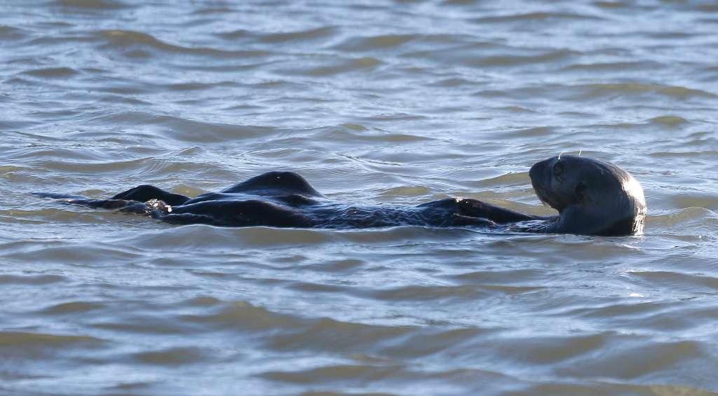 2017年10月24日、カリフォルニア州ハーフムーン湾で海洋哺乳類センターのボランティアやスタッフによりリリースされた後、ピラーポイントハーバーを泳ぐヤンキー・ドゥードル。ヤンキー・ドゥードルはドウモイ酸中毒で病気になり保護され、健康を取り戻した。