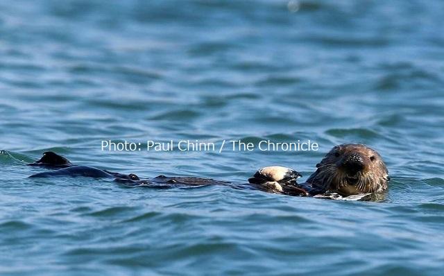 モスランディングのエルクホーン湿地帯で貝を食べる支度をしているラッコ。モントレーベイ水族館の海洋生物学者たちはリハビリを受けエルクホーン湿地帯に放されたラッコたちが海草棚や生態系を再構築する手伝いをしてきているのを見てきた。