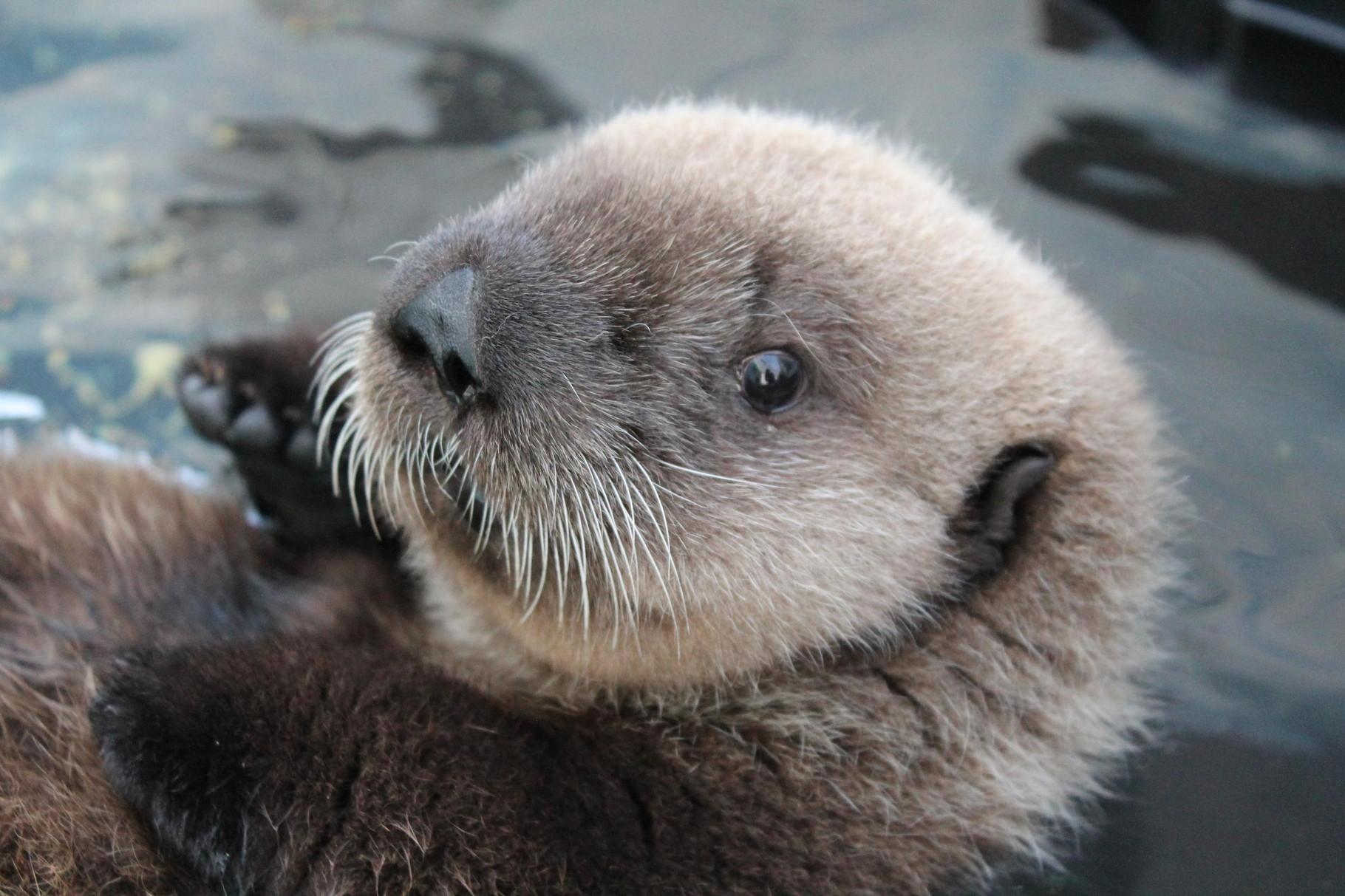 アラスカ州スワードでのミシュカAlaska SeaLife Center