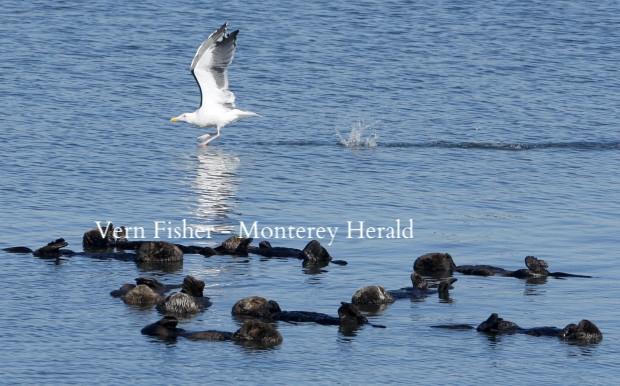 モスランディング・ハーバーでラッコの群れの上を飛んでいくカモメ。2017年10月25日。 (Vern Fisher - Monterey Herald)