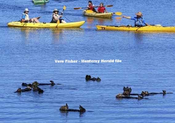 モスランディングハーバーでラッコの群れのそばを通り過ぎるカヤック Vern Fisher - Monterey Herald file
