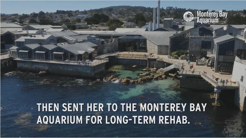長期的なリハビリのためモントレーベイ水族館へ移した