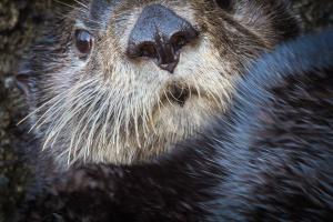 アラスカラッコ。鼻に傷がないのは珍しいPhoto by Grant Callegari