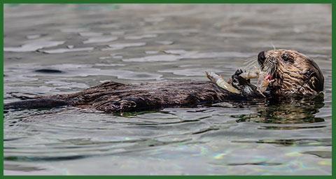 ラングリー。Photo by Bill Hunnewell © The Marine Mammal Center, USFWS permit MA101713-1