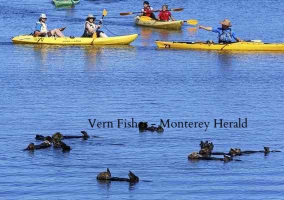 モスランディング・ハーバーでラッコの群れの横を通り過ぎるカヤック(Vern Fisher - Monterey Herald file)