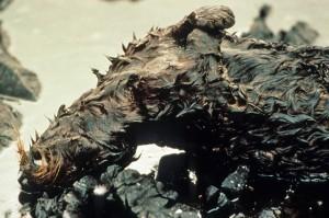 エクソン・バルディーズ号原油流出事故で死んでしまったラッコ