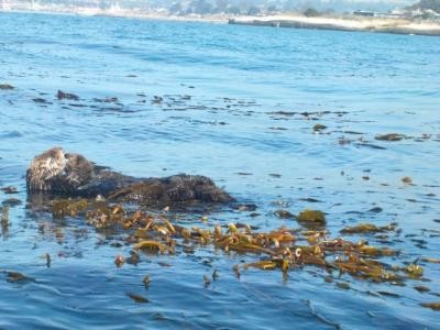 Female sea otters with pup. (Amber Jones -- Contributed)