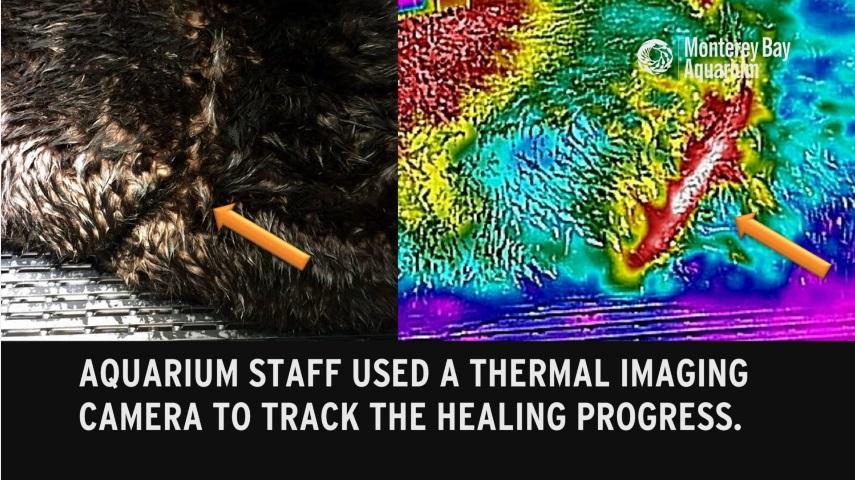 水族館スタッフは治癒の経過を確認するためサーマルイメージを利用した