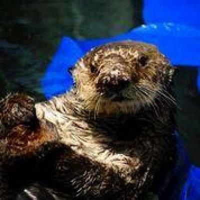 8歳のカリフォルニアラッコ、オットーがサウサリートの海洋哺乳類センターの水槽で休んでいる。このオスのラッコは、モロ湾で保護され、ドウモイ酸中毒の治療を受けている。