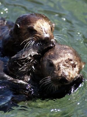 モントレー湾の潮だまりで泳ぐ母子ラッコ(Mike Fiala/AP)