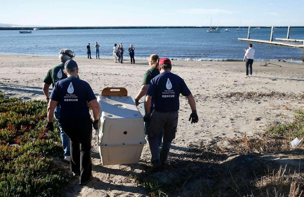 海洋哺乳類センターのボランティアがカリフォルニアラッコのヤンキー・ドゥードルを浜へ運んでいる。そのラッコは2017年10月24日、カリフォルニア州ハーフムーン湾ピラーポイントハーバーで海へリリースされた。ヤンキー・ドゥードルはドウモイ酸中毒で病気になり保護され、健康を取り戻した。