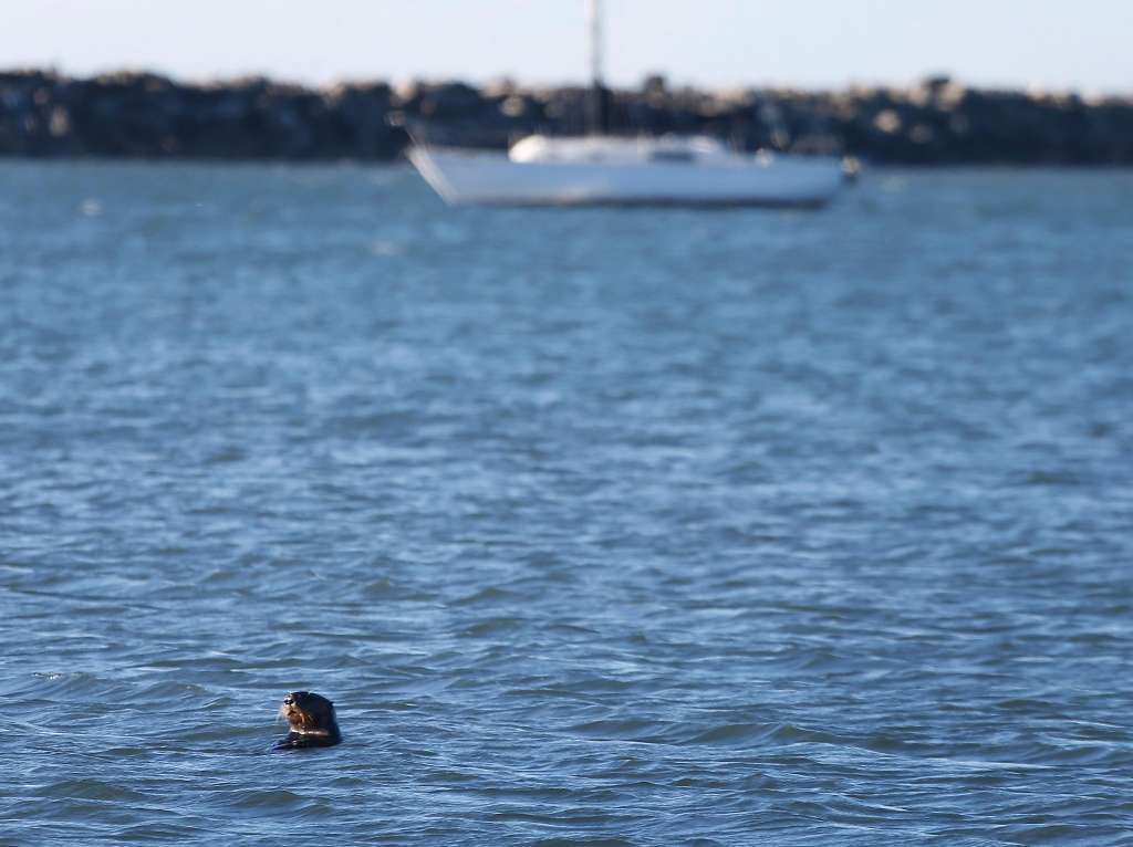 2017年10月24日火曜日、カリフォルニア州ハーフムーン湾で海洋哺乳類センターのボランティアとスタッフらにより海へリリースされたカリフォルニアラッコのヤンキー・ドゥードルがピラーポイントハーバーを泳ぐ。ヤンキー・ドゥードルはドウモイ酸で病気になり7月に保護され、健康を取り戻した。