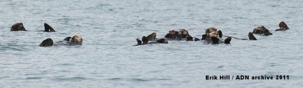 2011年7月、カチェマック湾ホーマー沖で水面に浮かぶラッコたち(Erik Hill / ADN archive 2011)