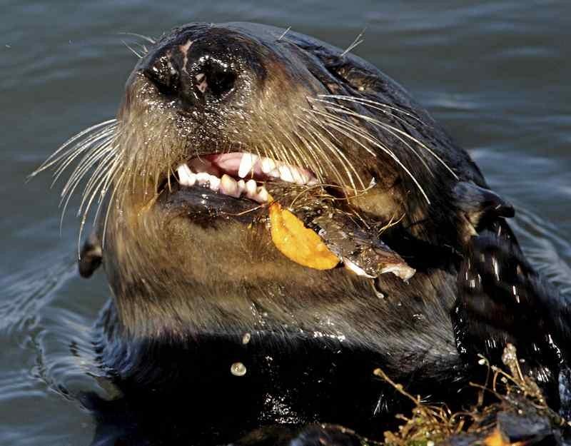 エルクホーン湿地帯にて、エサを食べ終わるラッコ。歯が見えている。アメリカ地質調査所の年次カリフォルニアラッコ個体数調査によると、3年平均値は2,941頭で、2年連続で個体数が増加をみせている。(Shmuel Thaler - Sentinel fle)