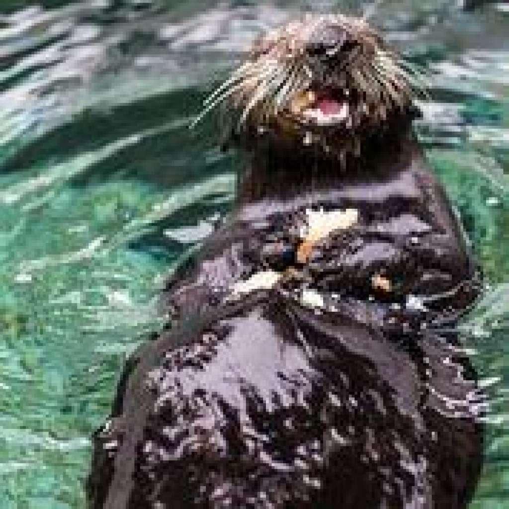 カリフォルニア州サウサリートの海洋哺乳類センターでリハビリの間エビを食べるヤンキー・ドゥードル
