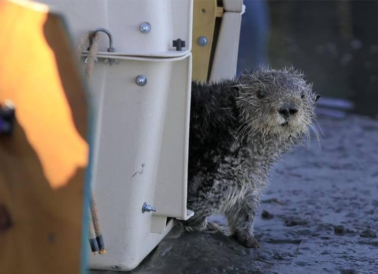 2017年9月22日、ラッコのオットーがモロ湾にリリースされた際、ケージから恐る恐る出てきた。サウサリートの海洋哺乳類センターが3か月間、ドウモイ酸のリハビリをおこなってきた。
