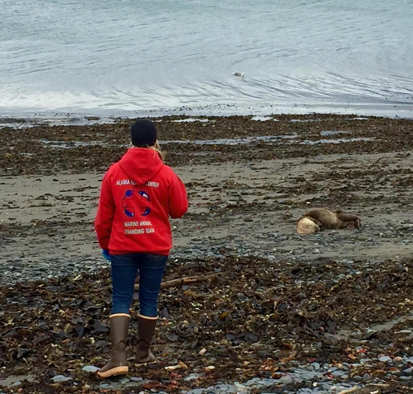 Debbie Boege-Tobin教授がカチェマック湾の浜で具合の悪いラッコを観察する PHOTO BY ELAINA MARCOTTE
